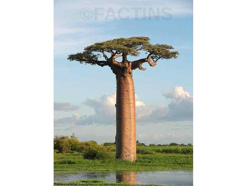 Water Tree (Adansonia)