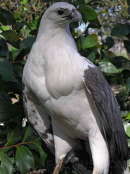 GreatBarrierReef_seabird_white-beillied-eagle_ec