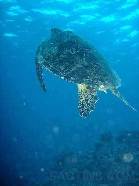 GreatBarrierReef_turtle_ce