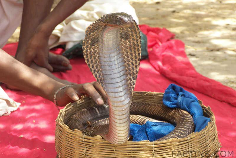 Snake charmer at Galtaji