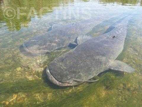 Amazon Cat Fish