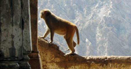 Monkeys at Galtaji Temple