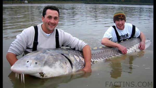 Fishes in Niagara - Lake Sturgeon