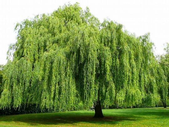 Willow Bark Tree