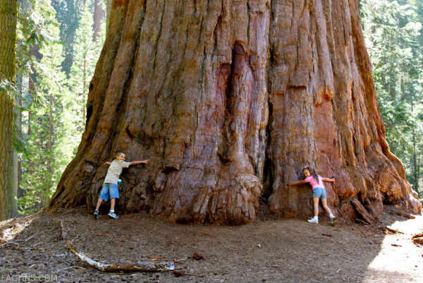 Sequoia Tree Width at the base