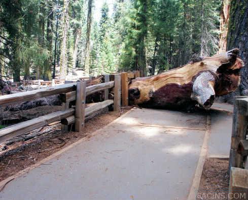 Sequoia broken branch