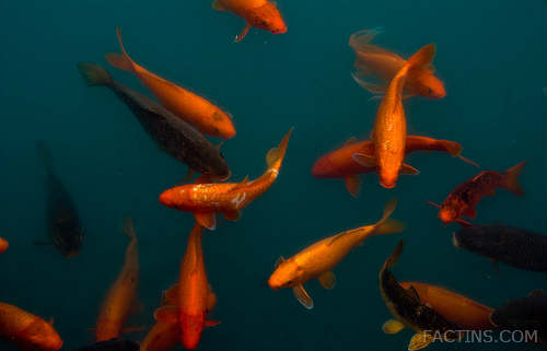 Gold fishes at GOlden Temple lake