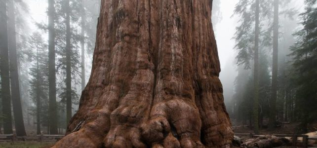 Spectacular Giant Sequoia Tree facts, Biggest tree