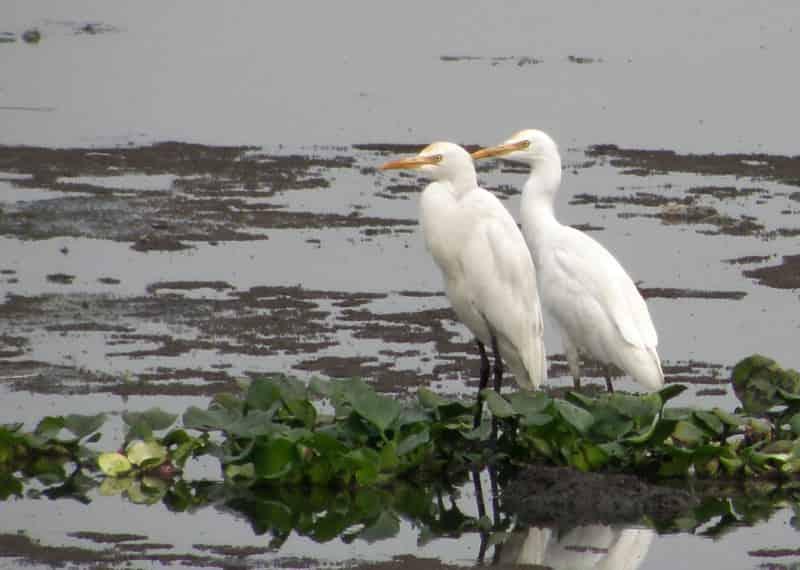 Pallikaranai Wetland - Birds - Importance of pallikaranai marshland ecosystem - Factins