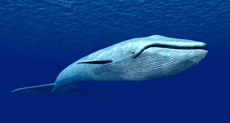 the blue whale the largest creature known to man The second-largest sea creature -- and second-largest creature on earth -- is the fin whale fin whales are a very slender, graceful whale species fin whales can reach lengths up to 88 feet and weigh up to 80 tons.
