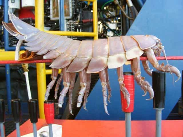 Giant Isopod - largest sea creatures - Factins