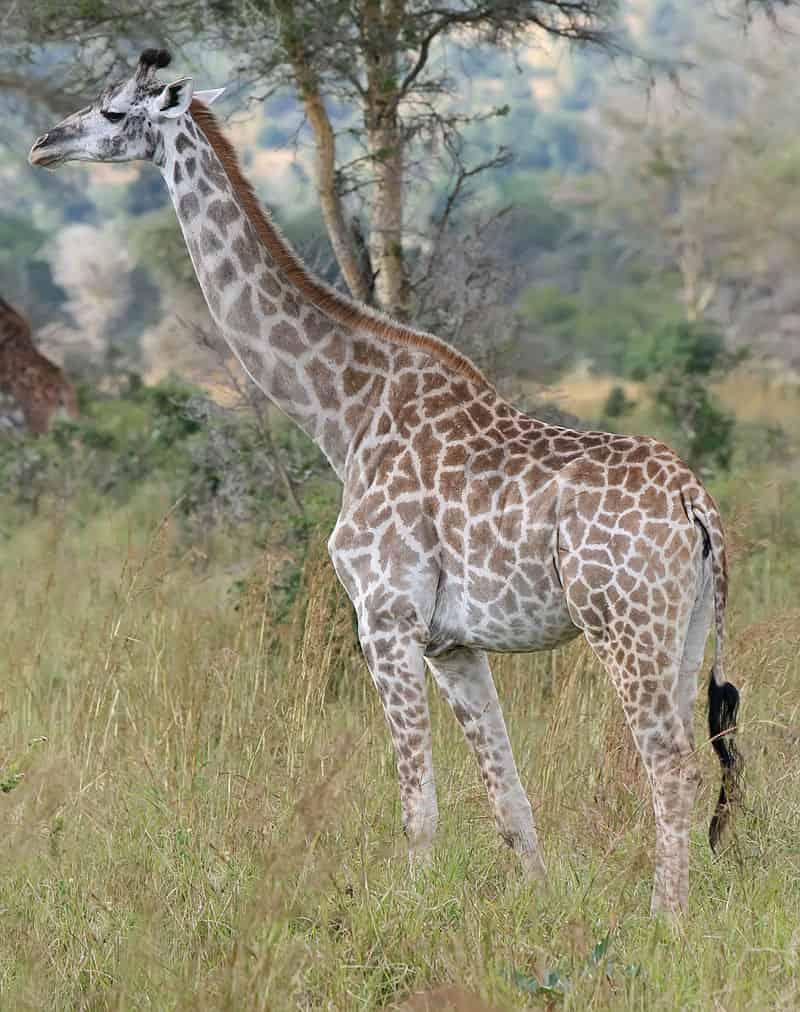 Giraffe - largest living animals earth - Factins