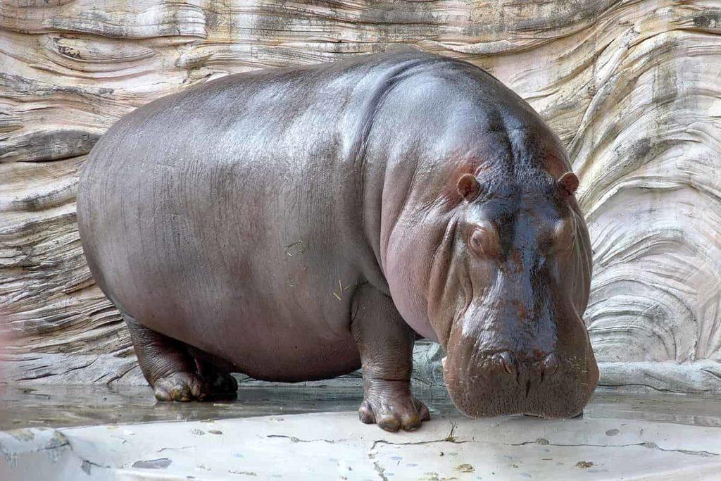 hippopotamus - largest living animals earth - Factins