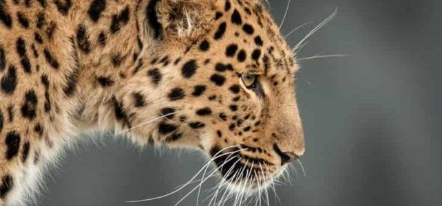 22 Interesting facts and information about leopards