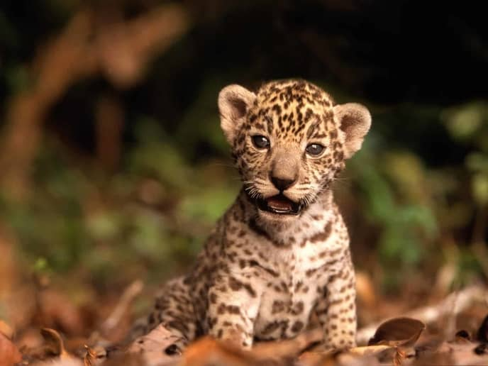 22-interesting-facts-leopards