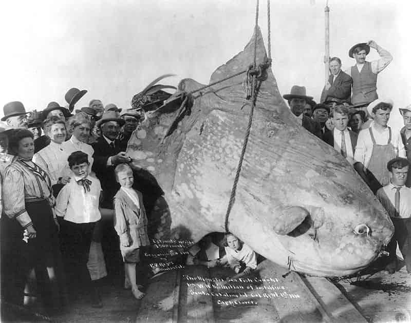 ocean sunfish - largest living animals earth