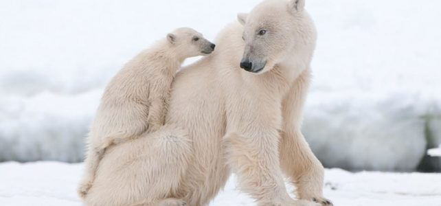 20 Unknown facts about polar bear