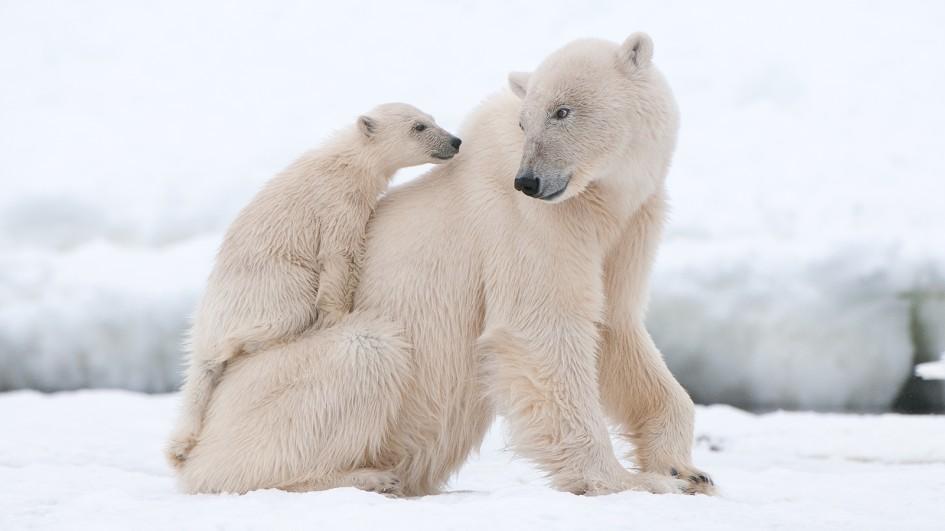 polar bear and cub on mom - Factins -