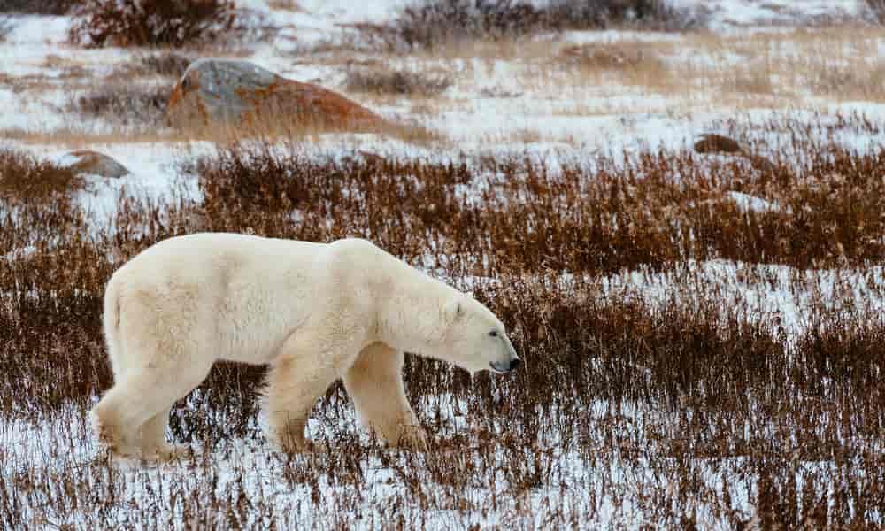 polar bear - Factins
