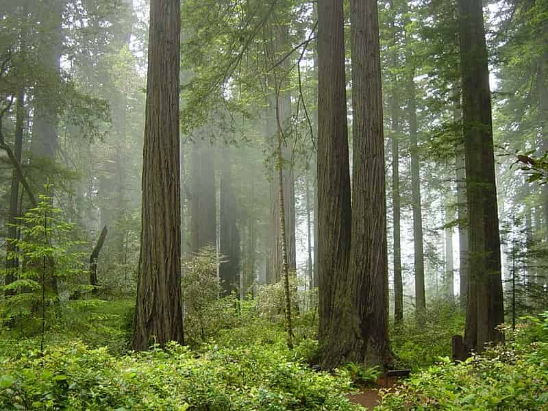 redwood national park - Giant Tree =- Factins