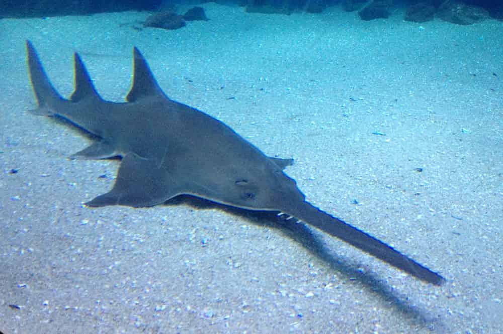 sawfish - largest living animals earth - Factins