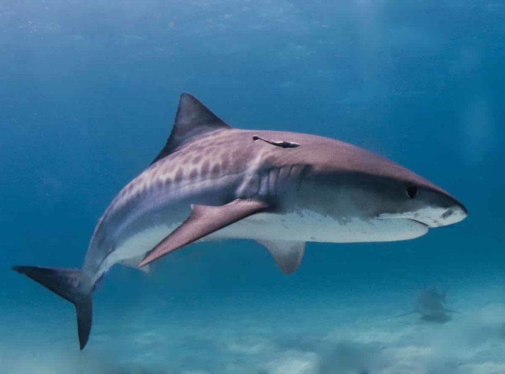 Tiger Shark - largest living animals earth - Factins