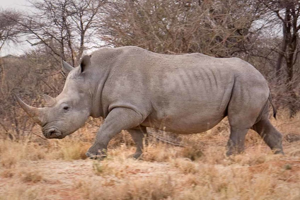 White rhinoceros -Top 17 largest living animals Earth - Factins