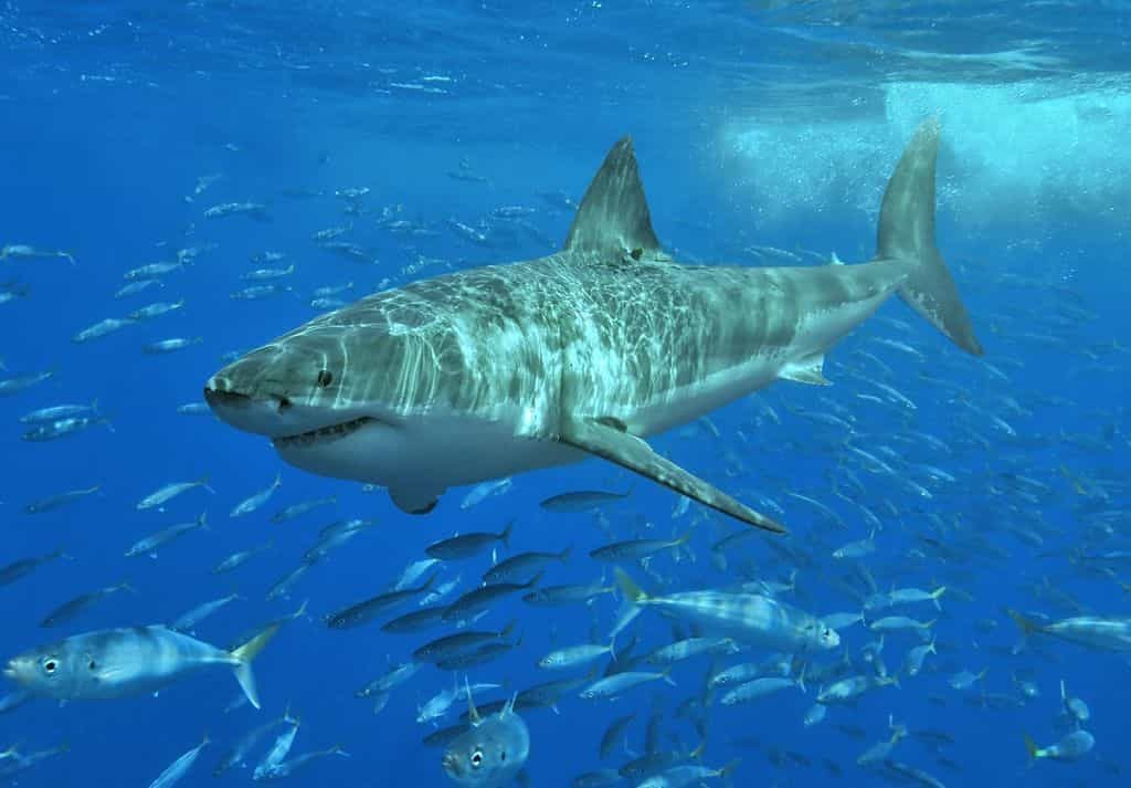 white_shark - largest sea creatures - Factins