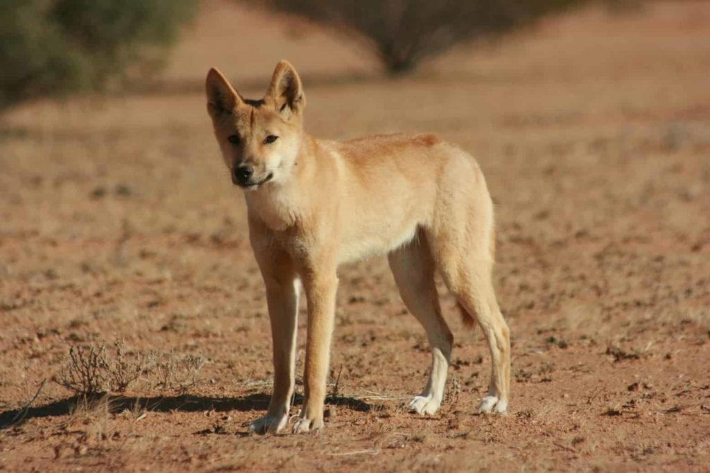 Dingoes - Fraser Island - Factins