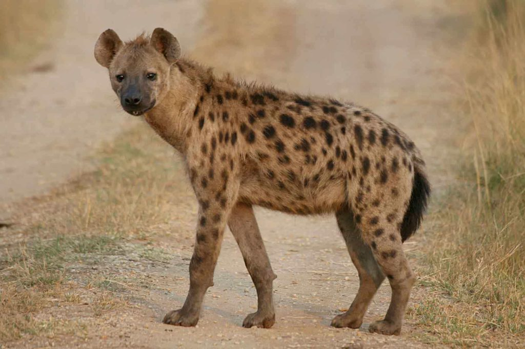 Hyena at Forest - Spotted Hyena facts - Factins