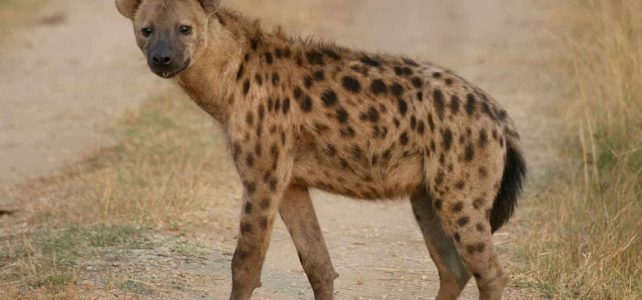 30 Interesting Spotted Hyena facts