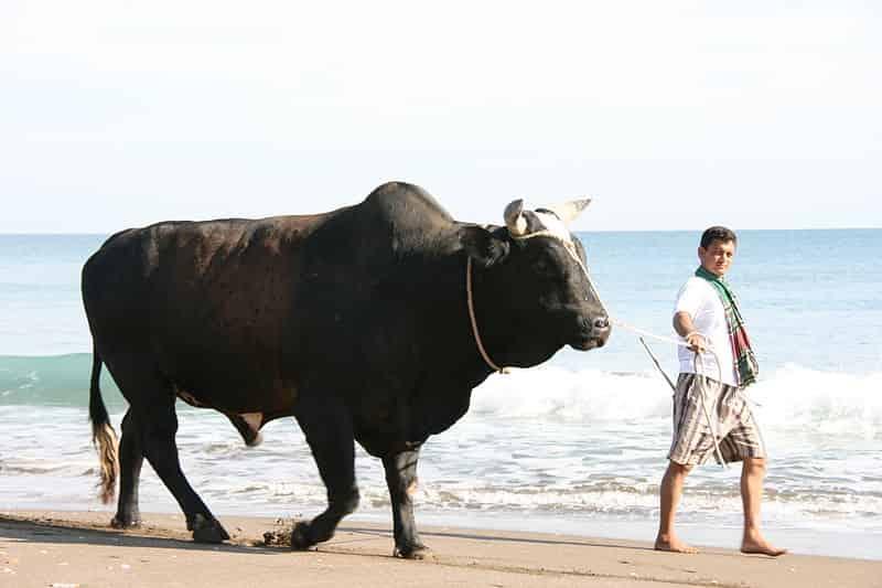 Indian Bull - Factins