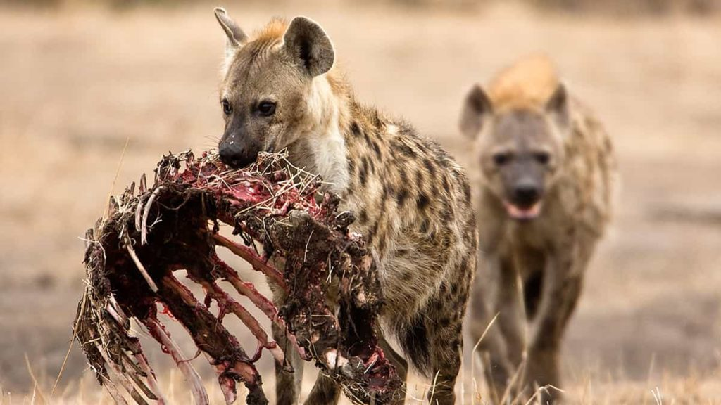 Hyena Diet - Deadly animal - Spotted Hyena facts