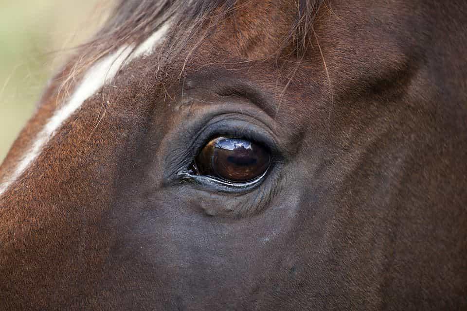 Horse eye - Horse Facts - Factins