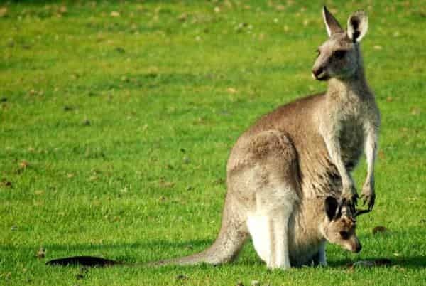 Kangaroo Pouch with Baby- Kangaroo facts - Factins