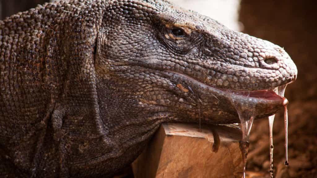 Facts about komodo dragon - Factins
