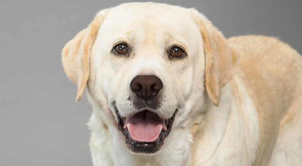 Labrador Retriever Dogs Love - Factins
