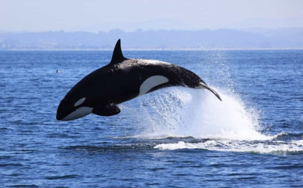 Killer Whale is Dolphin Fish - Factins