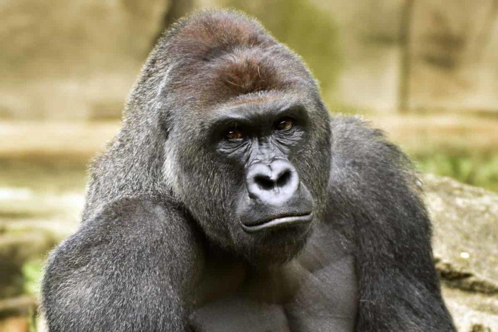 Gorilla - Great Apes - Factins